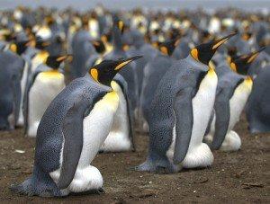 Manchot royal Aptenodytes patagonicus King Penguin