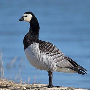 Barnacle-Goose